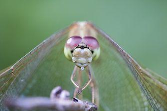 Reuze insecten