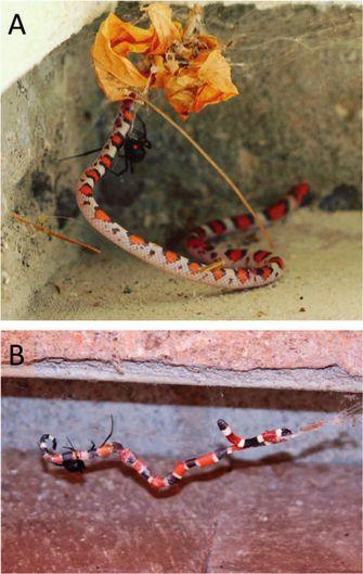 Spinnen slang
