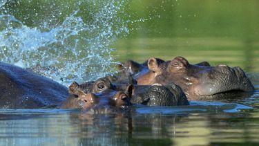 Nijlpaarden Pablo Escobar Colombia