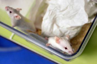muizen laboratorium onderzoek grijs haar stress