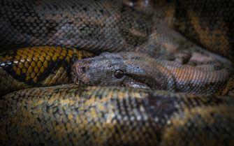 anaconda dinausariër