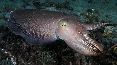 Inktvis zeekat