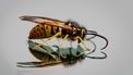 wesp wasp bee insect