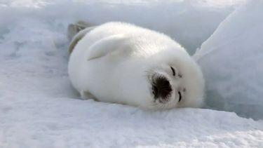 Zadelrob harp seal dieren